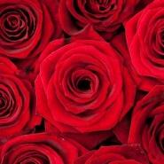 Fototapety KWIATY róż czerwień 2564 mini