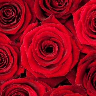 Fototapety KWIATY róż czerwień 2564