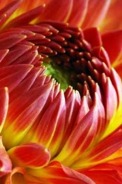 Fototapety KWIATY róż czerwień 2565