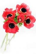 Fototapety KWIATY róż czerwień 2567 mini
