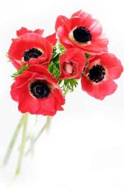 Fototapety KWIATY róż czerwień 2567