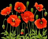 Fototapety KWIATY róż czerwień 2568 mini