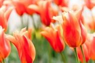Fototapety KWIATY róż czerwień 2569 mini