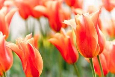 Fototapety KWIATY róż czerwień 2569
