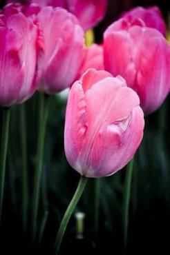 Fototapety KWIATY róż czerwień 2570