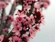 Fototapety KWIATY róż czerwień 2571 mini