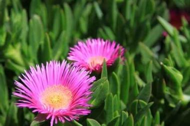 Fototapety KWIATY róż czerwień 2573
