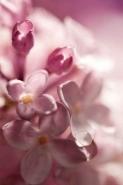 Fototapety KWIATY róż czerwień 2575 mini