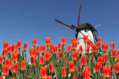 Fototapety KWIATY róż czerwień 2576
