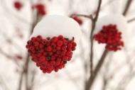 Fototapety KWIATY róż czerwień 2577 mini