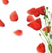 Fototapety KWIATY róż czerwień 2578 mini