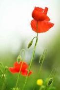 Fototapety KWIATY róż czerwień 2579 mini