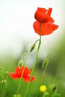 Fototapety KWIATY róż czerwień 2579