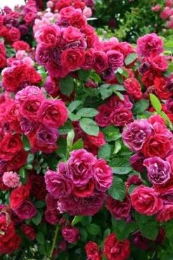 Fototapety KWIATY róż czerwień 2580