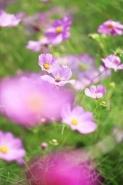 Fototapety KWIATY róż czerwień 2582 mini