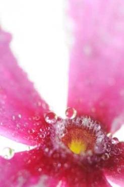 Fototapety KWIATY róż czerwień 2585