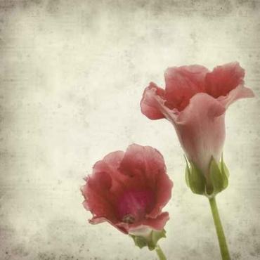 Fototapety KWIATY róż czerwień 2586