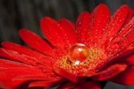 Fototapety KWIATY róż czerwień 2587 mini