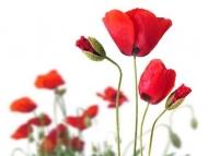 Fototapety KWIATY róż czerwień 2588 mini