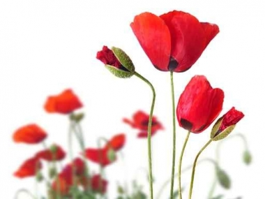 Fototapety KWIATY róż czerwień 2588