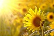 Fototapety KWIATY żółte 2670 mini