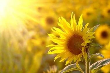 Fototapety KWIATY żółte 2670