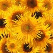 Fototapety KWIATY żółte 2671 mini