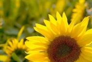 Fototapety KWIATY żółte 2674 mini
