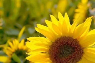 Fototapety KWIATY żółte 2674