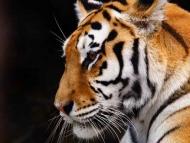 Fototapety ZWIERZĘTA dzikie koty 4005 mini