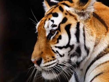 Fototapety ZWIERZĘTA dzikie koty 4005