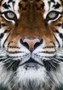 Fototapety ZWIERZĘTA dzikie koty 4006 mini