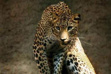 Fototapety ZWIERZĘTA dzikie koty 4007
