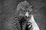 Fototapety ZWIERZĘTA dzikie koty 4009 mini
