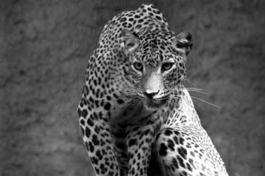 Fototapety ZWIERZĘTA dzikie koty 4009