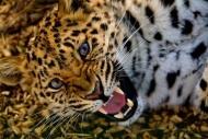Fototapety ZWIERZĘTA dzikie koty 4014 mini