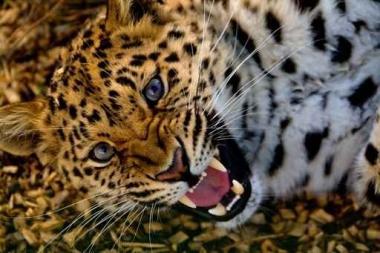 Fototapety ZWIERZĘTA dzikie koty 4014