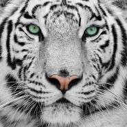 Fototapety ZWIERZĘTA dzikie koty 4015 mini