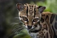Fototapety ZWIERZĘTA dzikie koty 4017 mini
