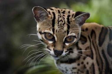 Fototapety ZWIERZĘTA dzikie koty 4017