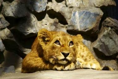 Fototapety ZWIERZĘTA dzikie koty 4018
