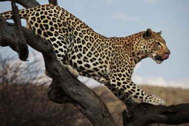 Fototapety ZWIERZĘTA dzikie koty 4019