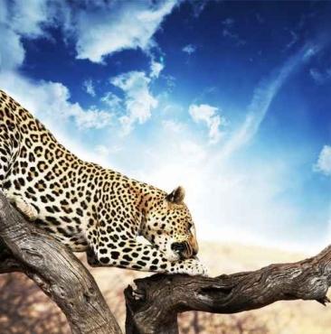 Fototapety ZWIERZĘTA dzikie koty 4020