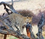 Fototapety ZWIERZĘTA dzikie koty 4022 mini