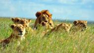 Fototapety ZWIERZĘTA dzikie koty 4025 mini