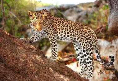 Fototapety ZWIERZĘTA dzikie koty 4026