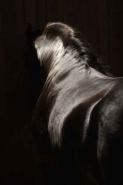Fototapety ZWIERZĘTA konie 4030 mini