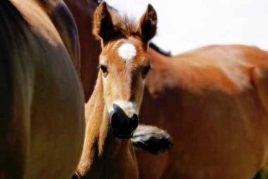 Fototapety ZWIERZĘTA konie 4034