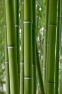 Fototapety NATURA bambusy 6536 mini
