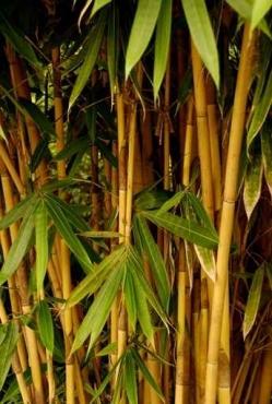 Fototapety NATURA bambusy 6537